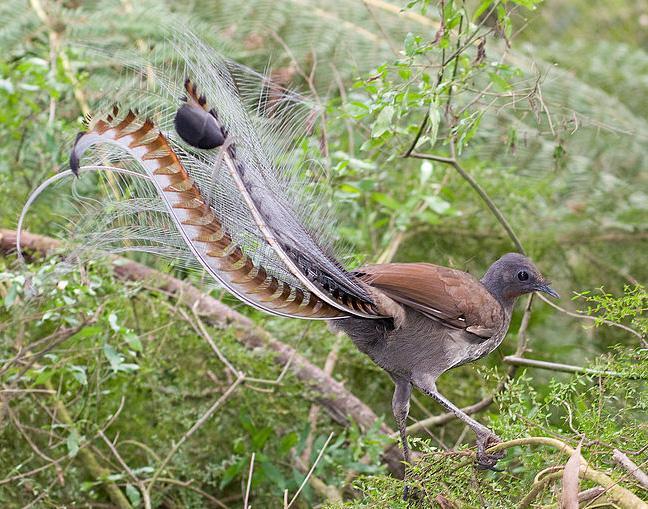 Lyrehalefugl som fremviser den flotte stjerten