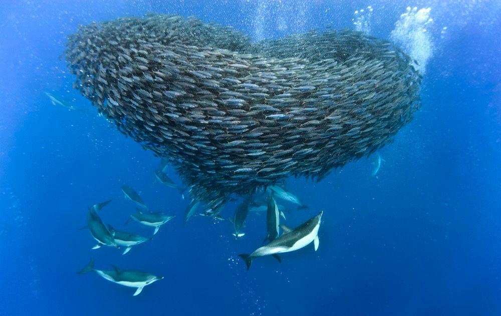Delfin på jakt etter makrell. Foto.