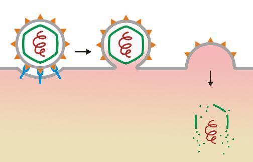 Tegning som viser hvordan virus entrer en celle i tre trinn.