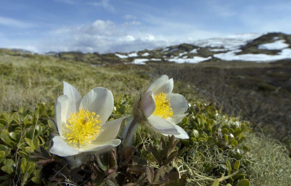 Den lave, hvite planten mogop som blomstrer tidlig i fjellet på våren. Foto.