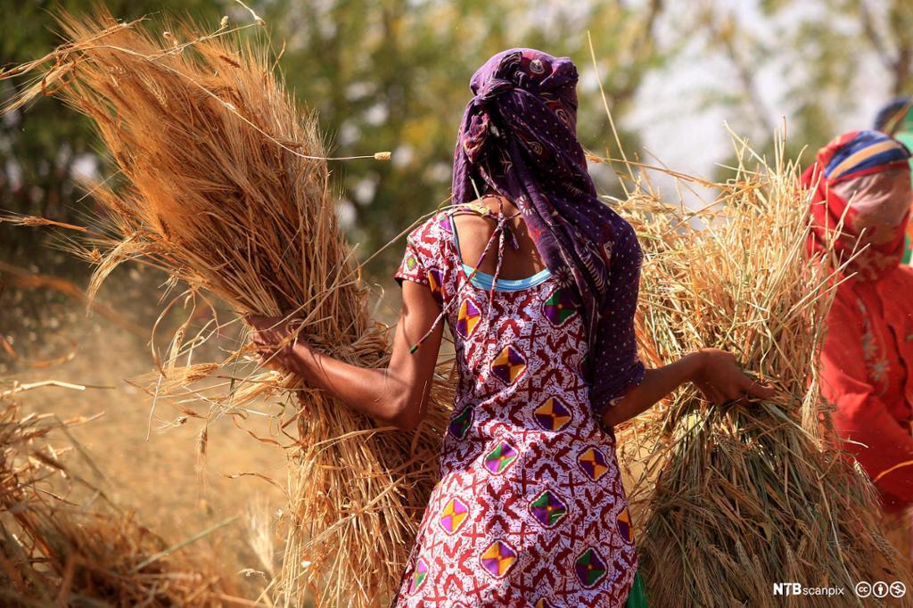 Indiske kvinnelige bønder i en hveteåker. Foto.
