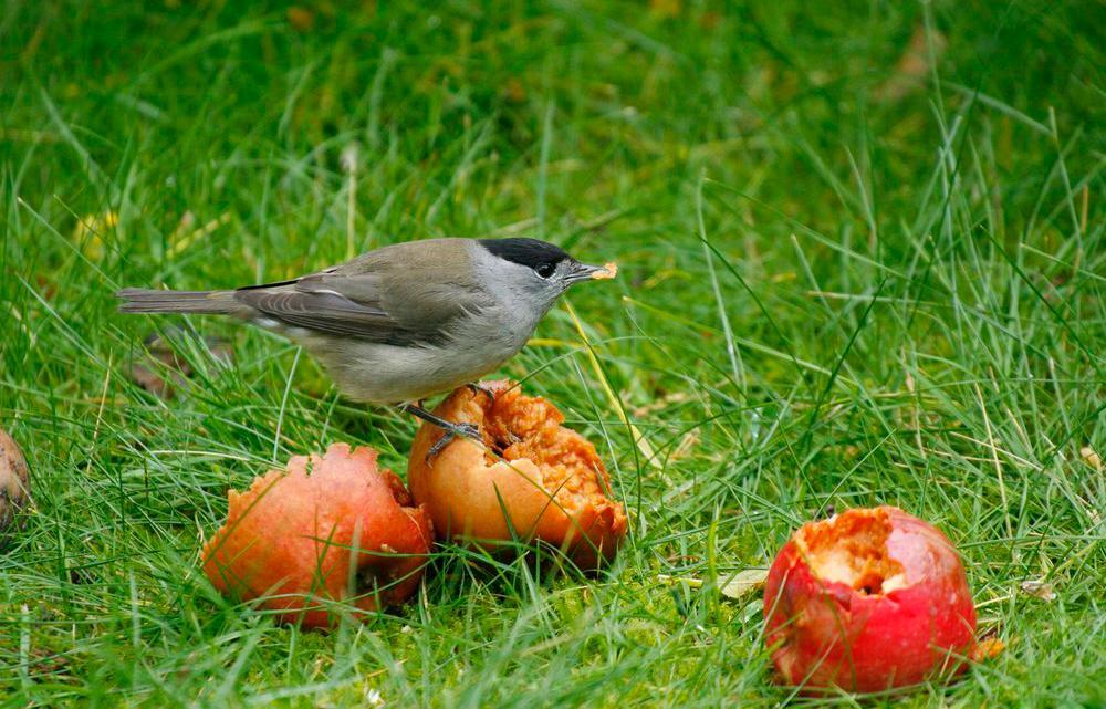 Munk (fugl) spiser råtne epler. Foto.