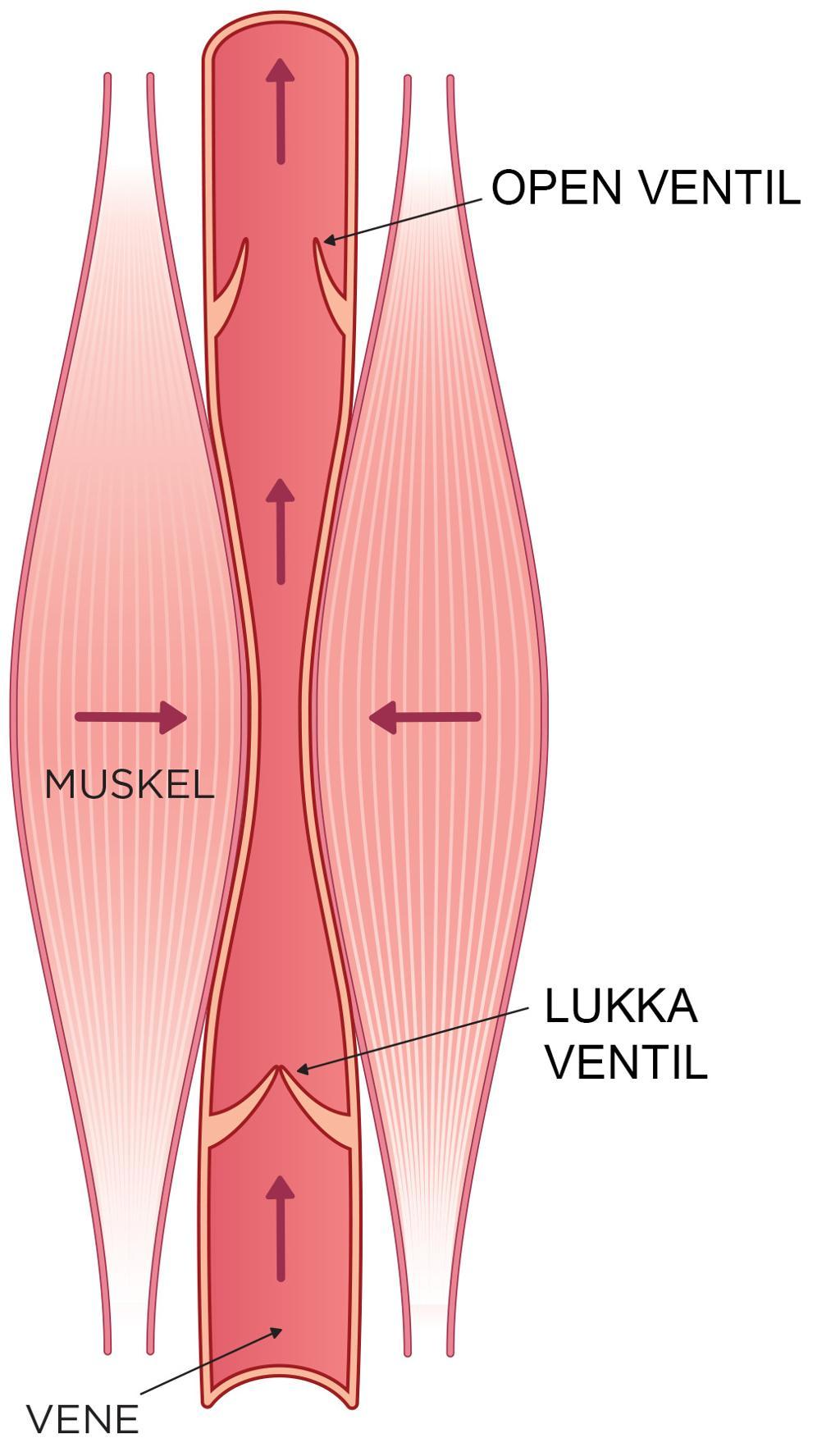 Tegning av blodåre og muskler.