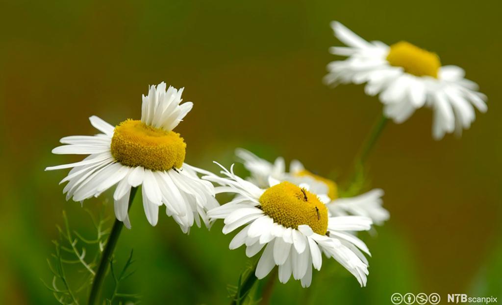Balderbrå med kronblader som vokser feil. Foto.
