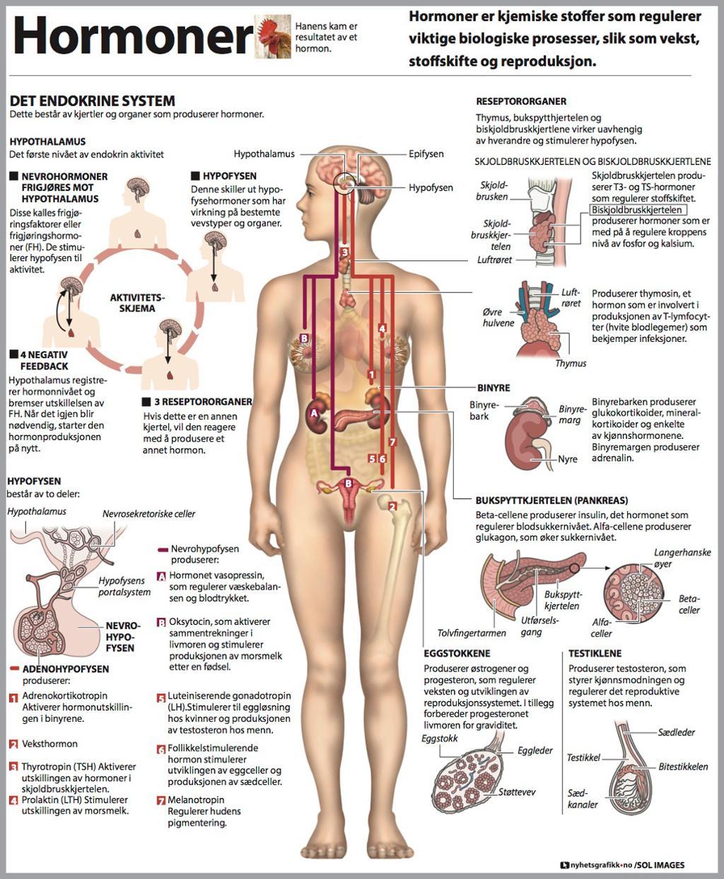 Grafikk om hormoner i menneskekroppen. Grafikk