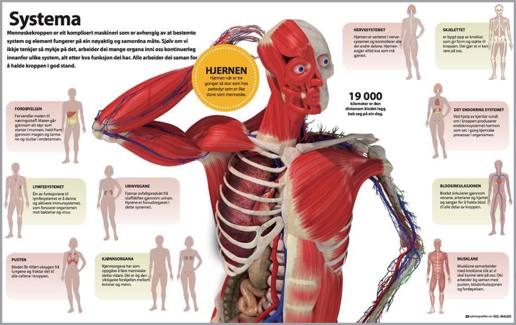 Systemene i menneskekroppen. Grafikk.