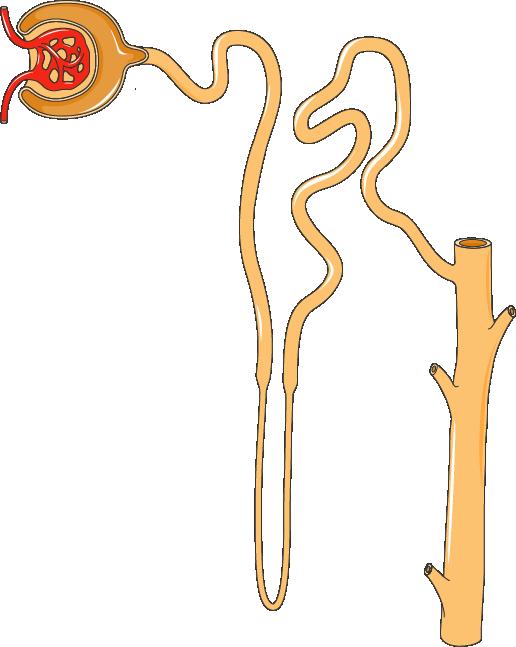 Skjematisk figur av et nefron. Illustrasjon.