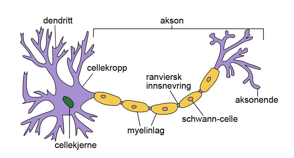 Nervecelle med navn på ulike deler. Illustrasjon.