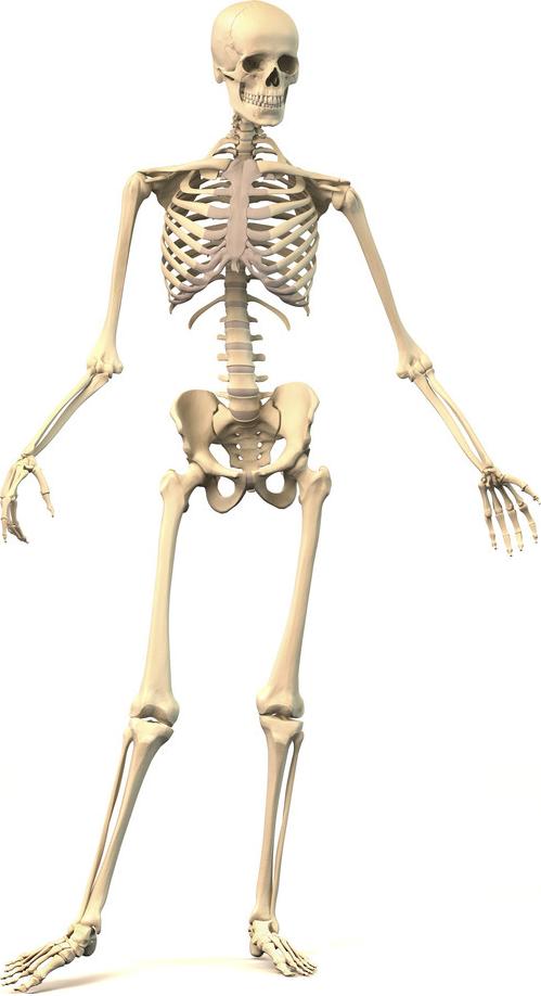 hvor mange ledd har vi i kroppen