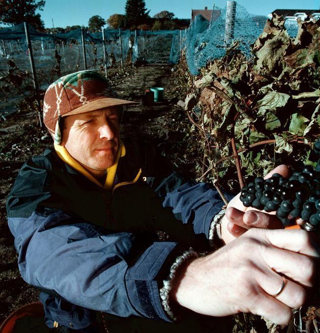 Høsting av vindruer i Norge