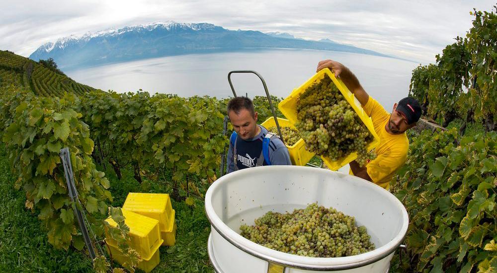 Innhøsting av druer (utsnitt)