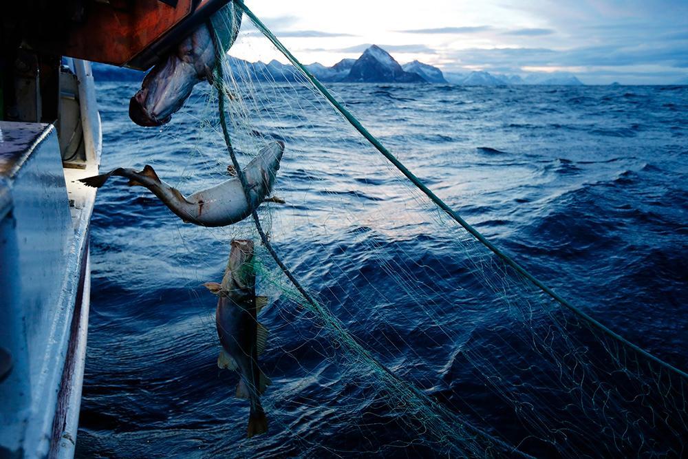 Garn med fisk trekkes opp av havet. Foto.