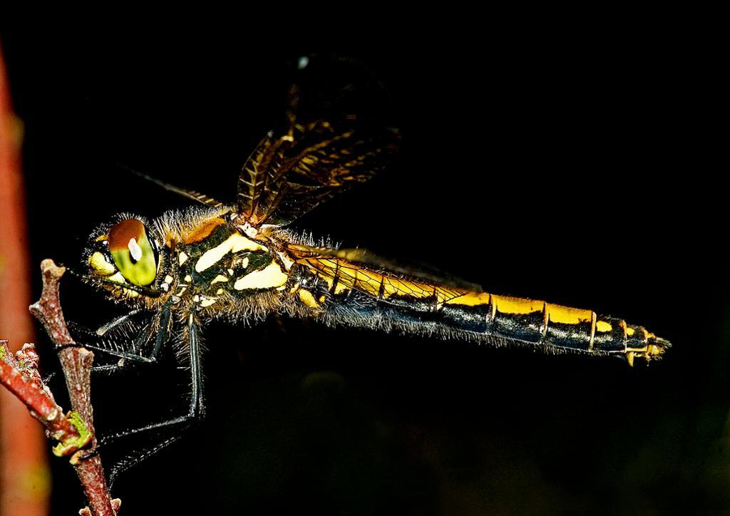 Nærbilde av et fargerikt insekt med lang kropp. Foto.