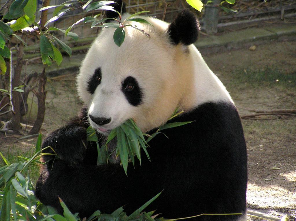 Panda spiser bambus.