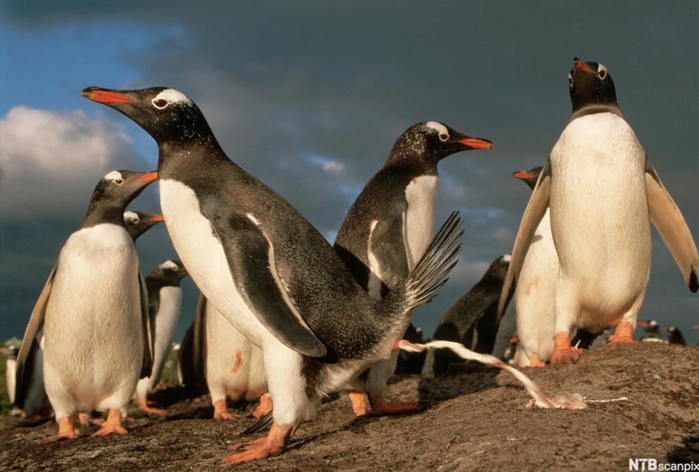 Pingviner. En pingvin sender ut en stråle med urinsyre.