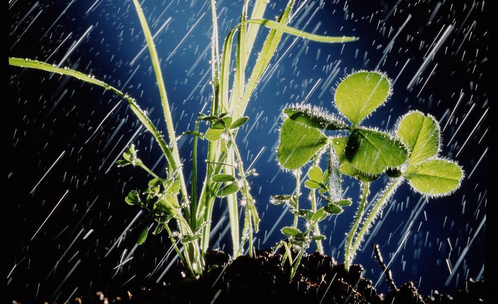 Kraftig regn over kløver og gress på en jordhaug.