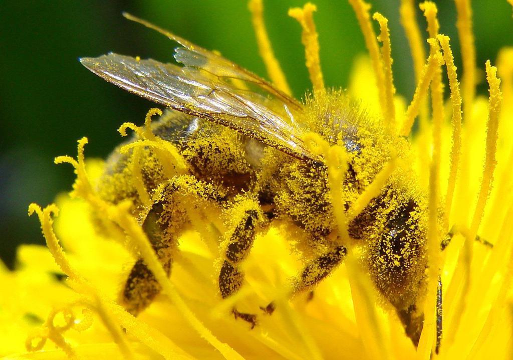 Bie dekket med pollen. Foto.
