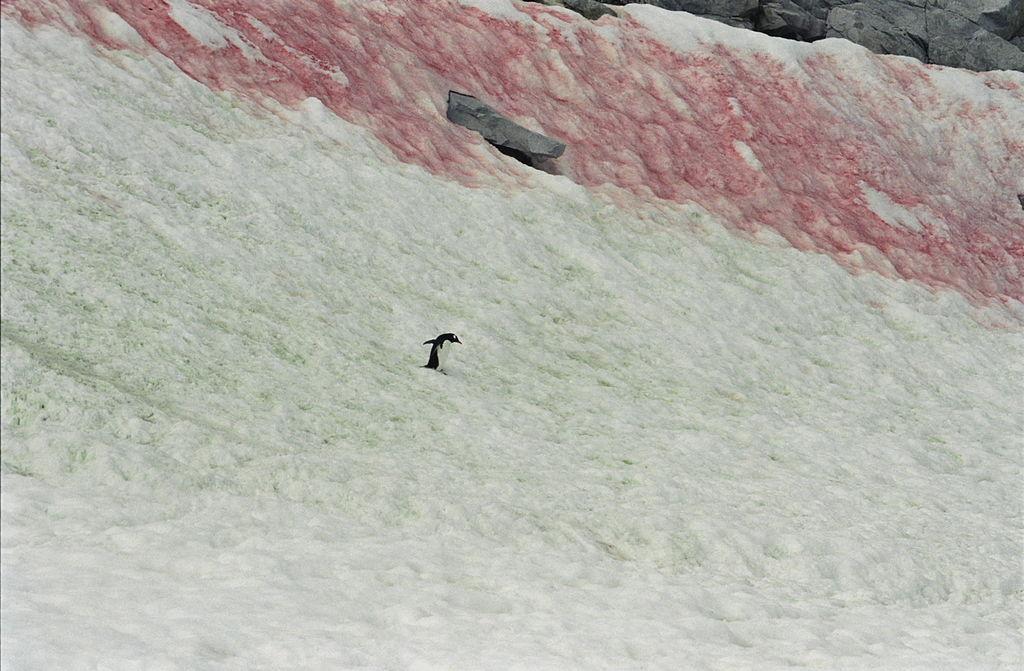 Rød snø. Foto.
