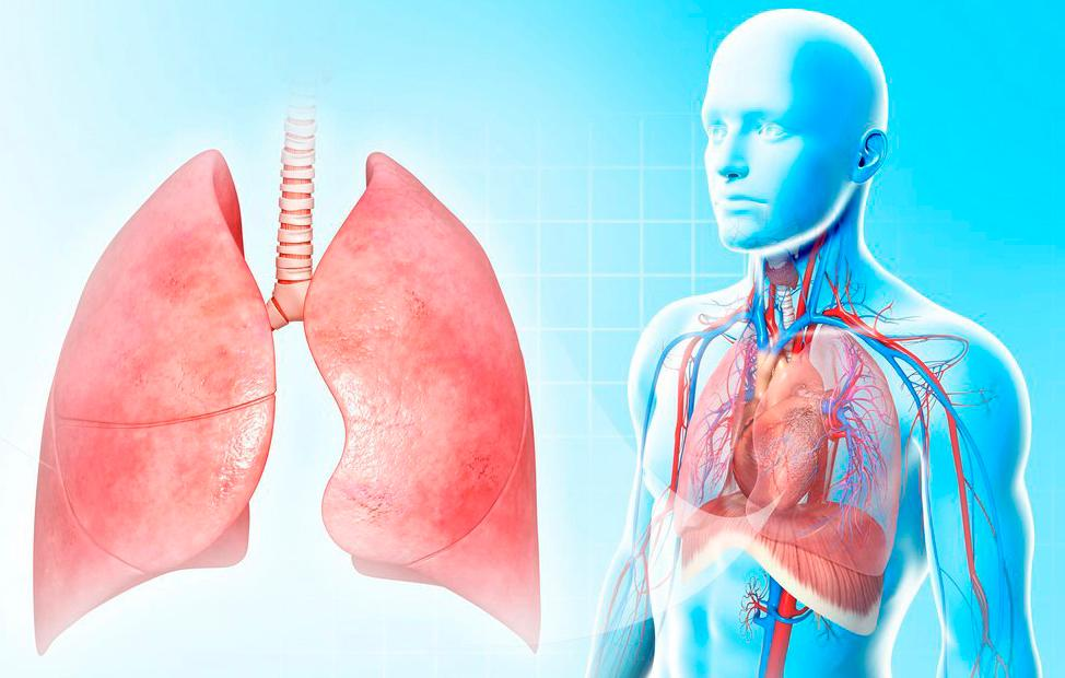 Friske lunger og deres plassering i kroppen. Illustrasjon.