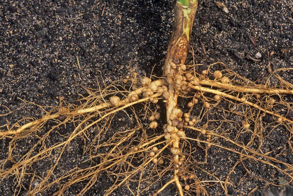 Rhizobium på soyabønne