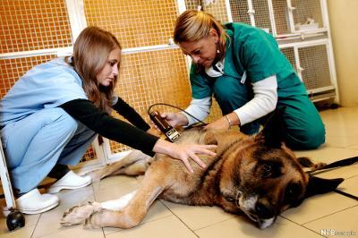 To personer utfører ultralydskanning på en hund. Foto.