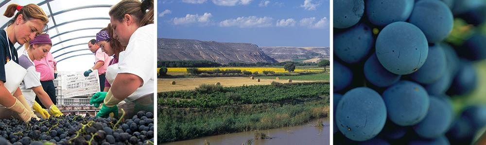 Kollasj med bilder fra Ribera del Duero. Blå druer, fjelllandskap og arbeidere på vingården.
