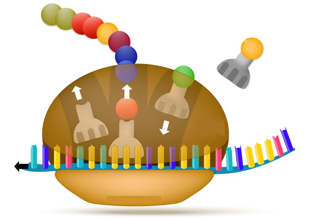 Ribosom setter sammen aminosyrer til protein. Illustrasjon.