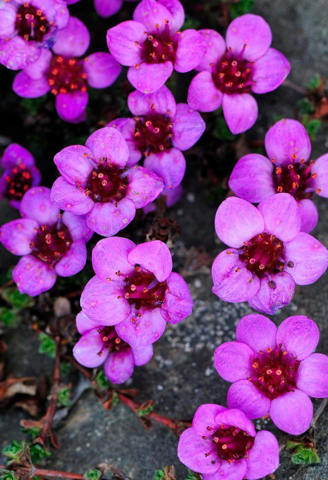 Den fargerike blomsten hos rødsildre. Foto.