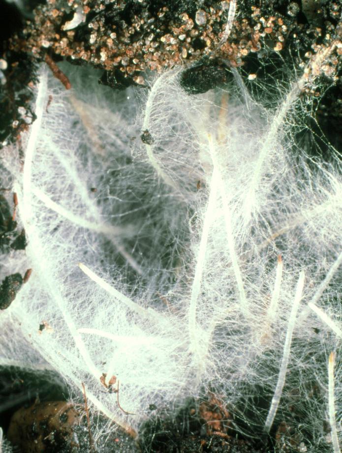 Røtter med et tett nett av rothår. Foto.