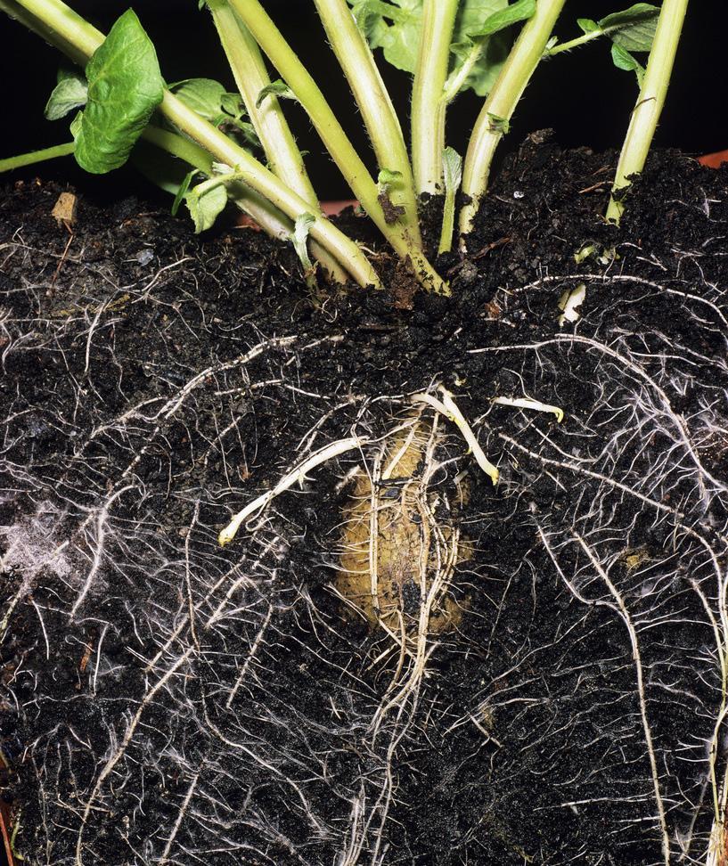 Potetplante hvor rotsystemet er fremhevet. Foto.