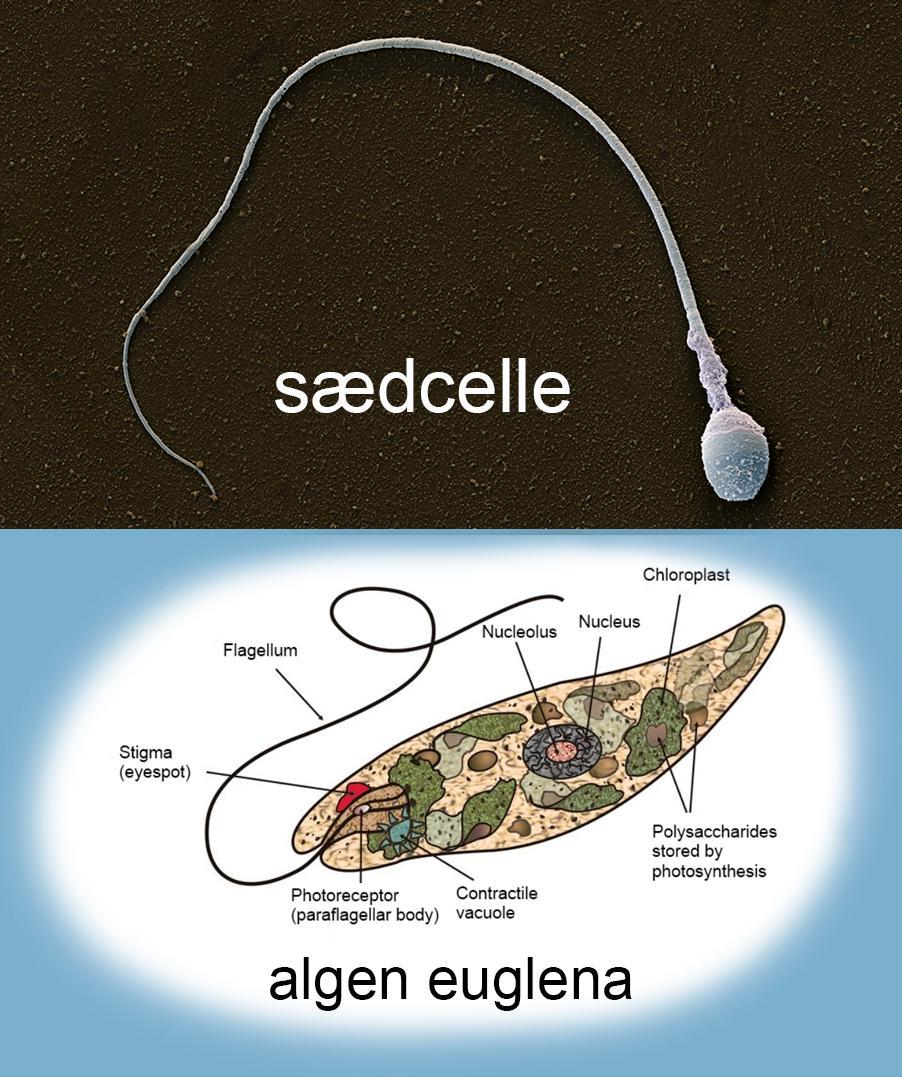 Bilde av en sædcelle og en alge med flagell.