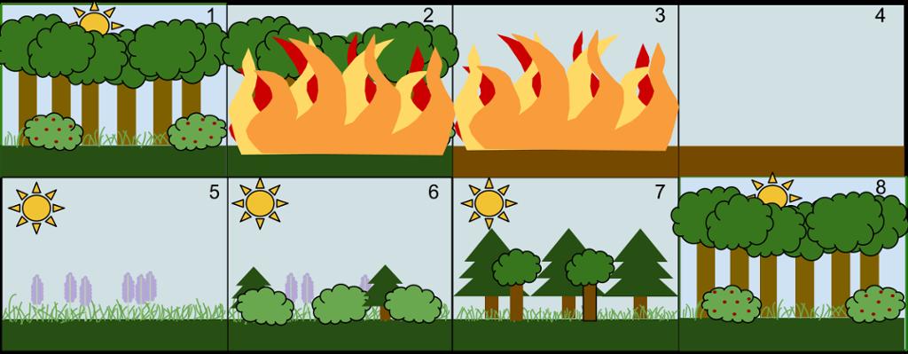 Sekundær suksesjon etter skogbrann. Illustrasjon.