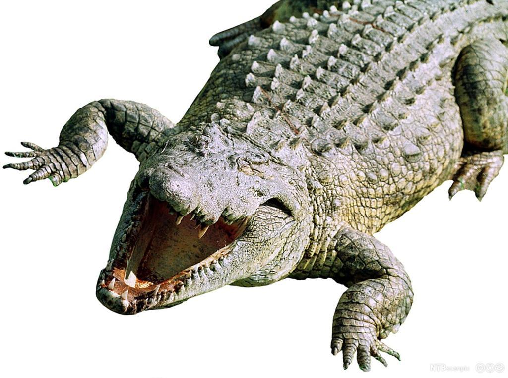 Husk at krokodillen er sulten og alltid vil gape over det største tallet eller uttrykket!