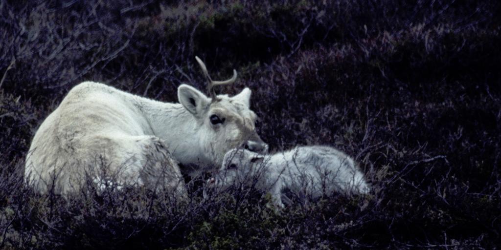 Simle ligger i lyngen med nyfødt kalv. Foto.