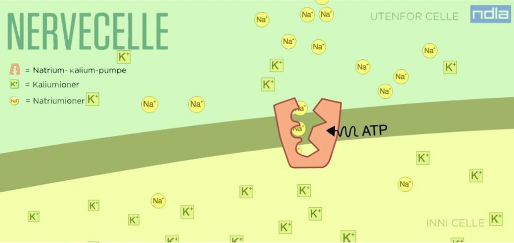 Ein proteinkanal i cellemembranen får tilført energi. Teikning.