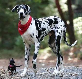 En stor og en liten hund av ulik rase står ved siden av hverandre. Foto
