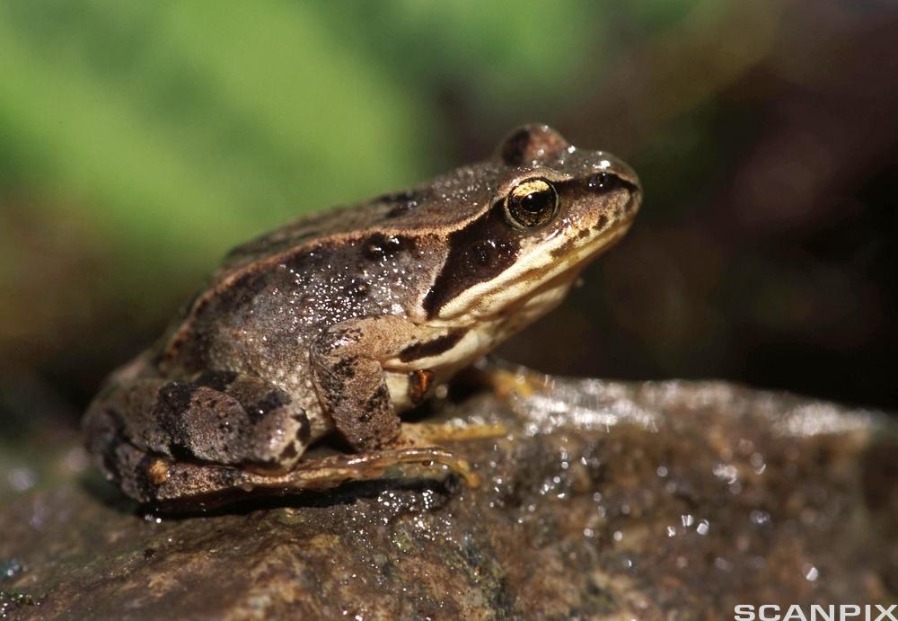 Frosk (Rana temporaria)