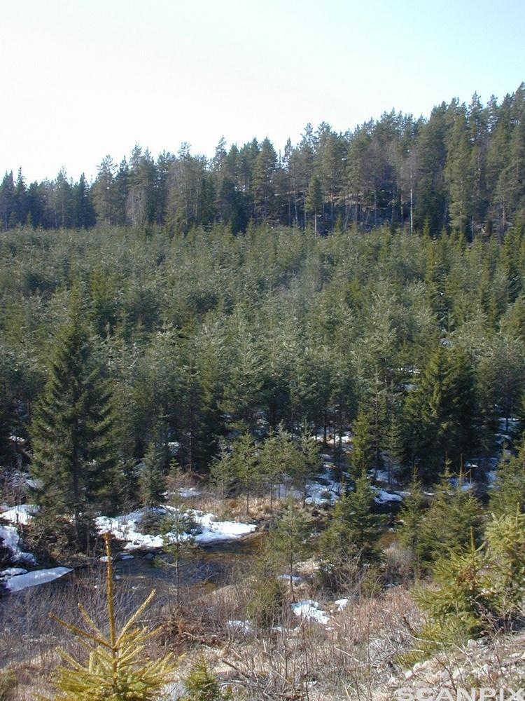 Ung skog. Foto.