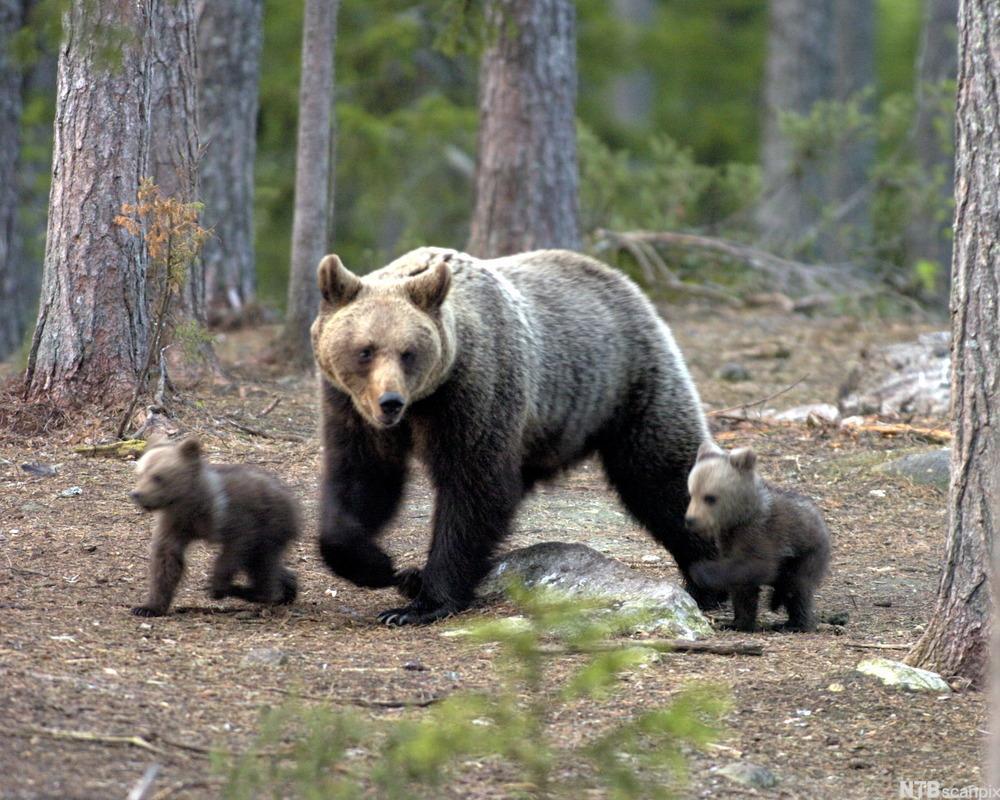 Hunnbjørn med sine to avkom. Foto.