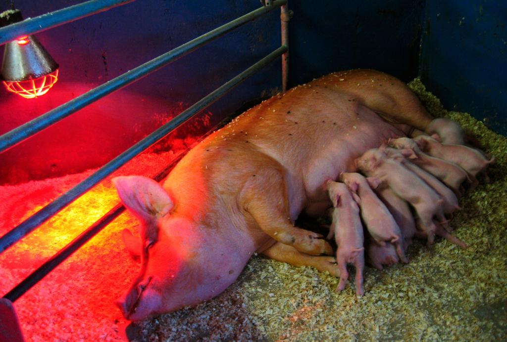 Purke med grisunger i grisebinge. Foto.