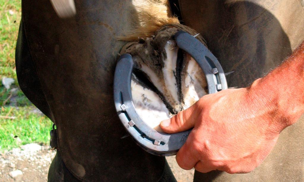 Nærbilde av hovslager som skor en hest. Foto.