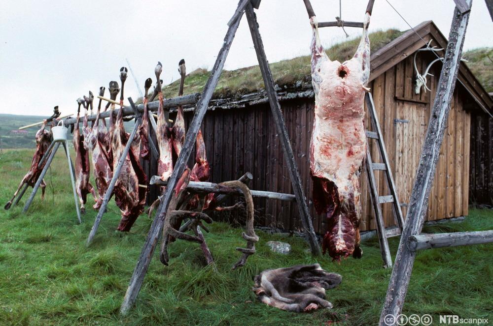 Flere reinsdyr som henger etter slakting på et stativ. Foto