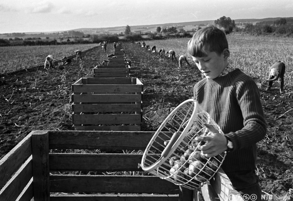 Skolebarn plukker poteter på en bondegård.