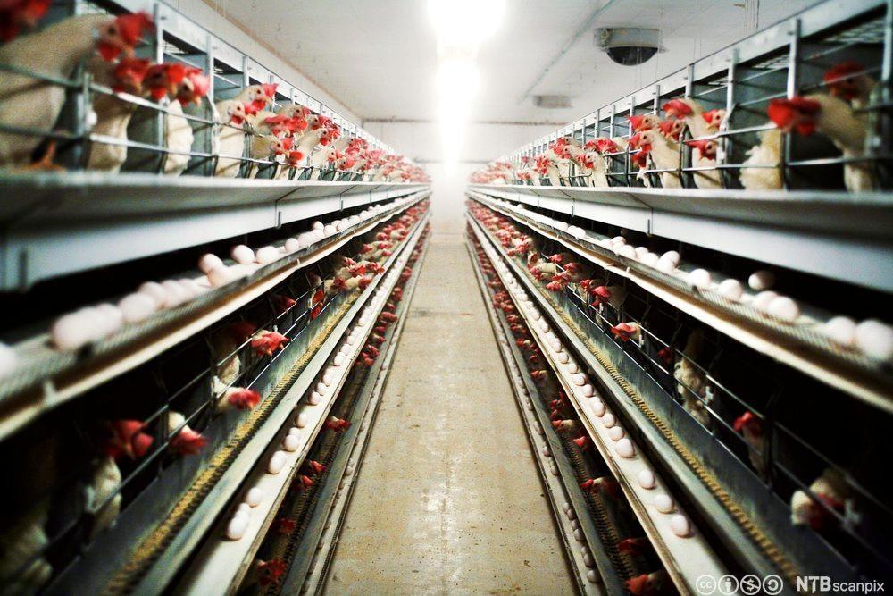Moderne eggproduksjon. Foto.