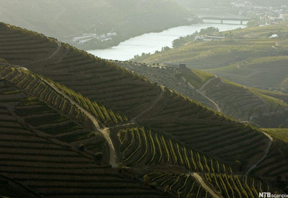Vingård ved elven Douro. Foto.