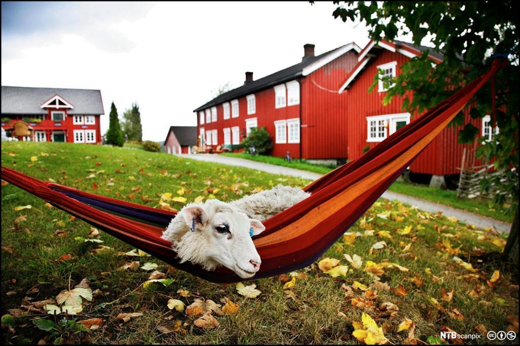 Sau i hengekøye på Inderøy i rødt gårdsmilljø. Foto.