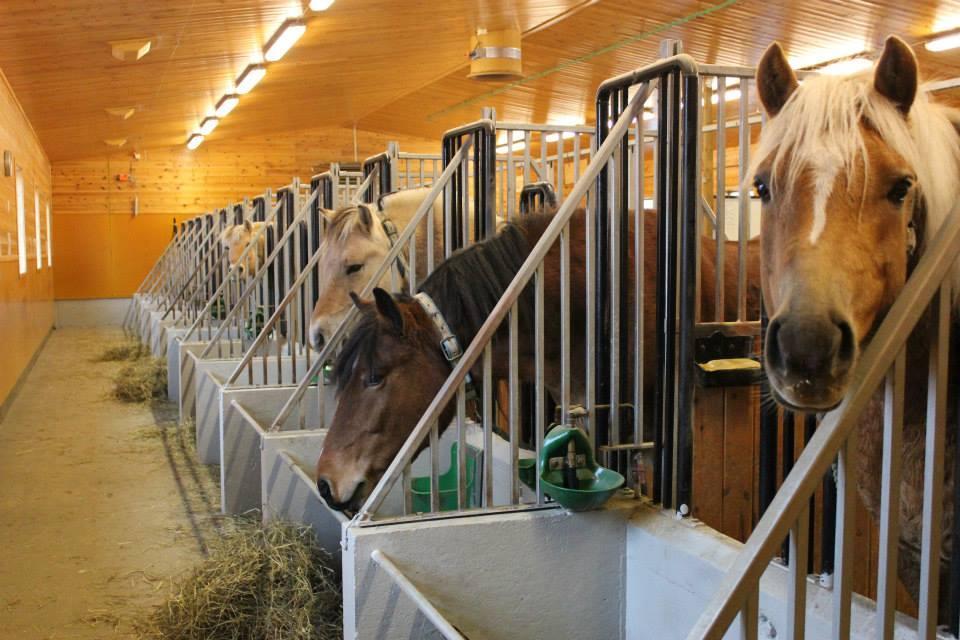 Hester i spilltau. Foto.