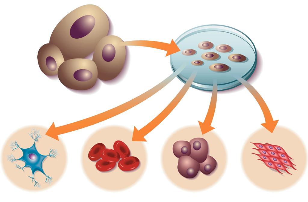 Stamceller i petriskål utvikler seg til flere ulike celletyper. Illustrasjon.
