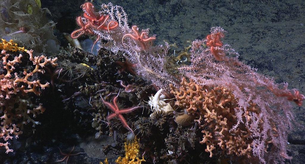 Lophelia dypvannskoraller. Foto.