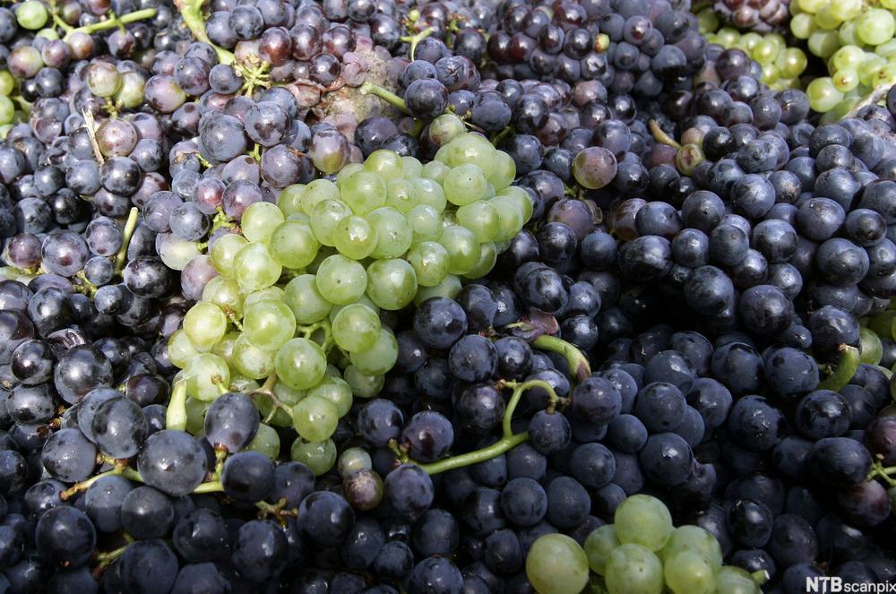 Chardonnay og pinot noir druer som brukes til å lage champagne. Foto.